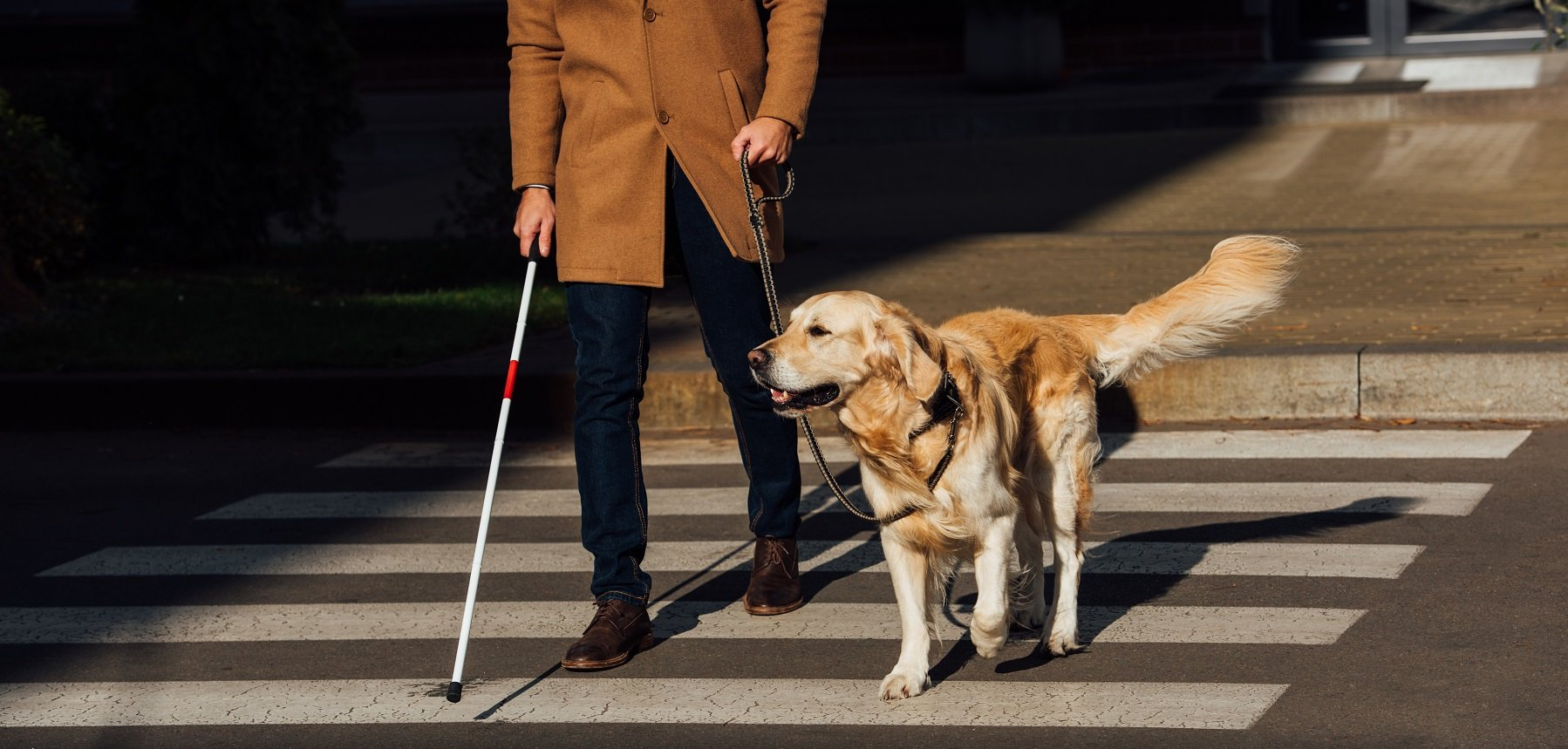 Les chiens guides pour aveugles
